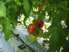 TOMATES-grappe