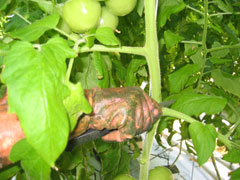 TOMATES-taille